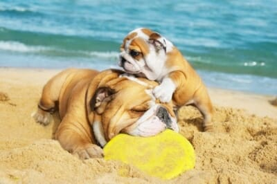 2-bulldogs-playing-in-sand